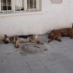 2 sleeping dogs in Bodrum Turkey